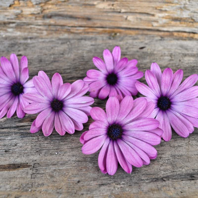 Lavender Shades African Daisy - Flowers
