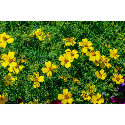Lemon Gem Marigold - Flowers