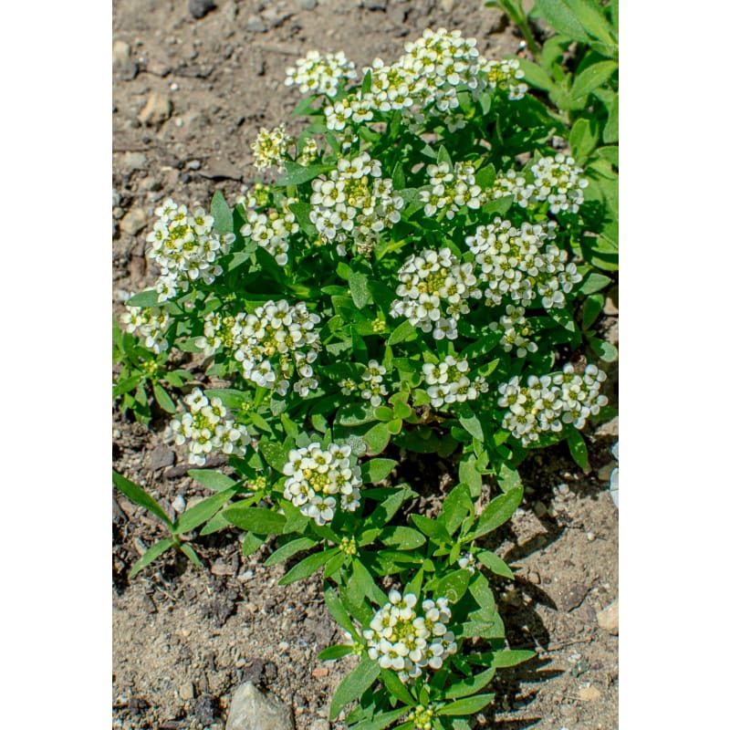 Lemonade Alyssum - Flowers