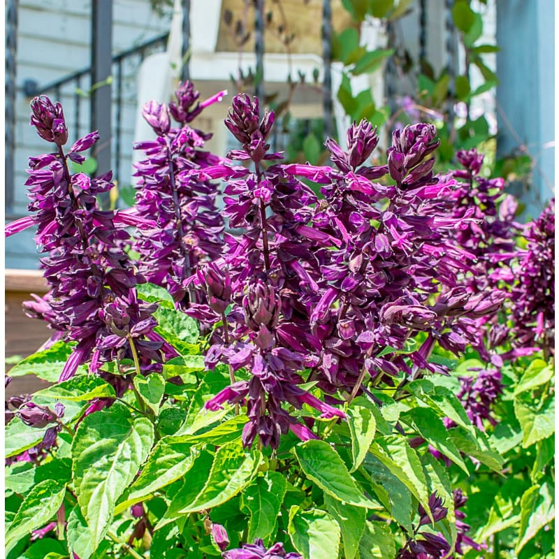 "SALVIA PURPLE MAGESTY 1 LIVE PLANT 4/"" POT"