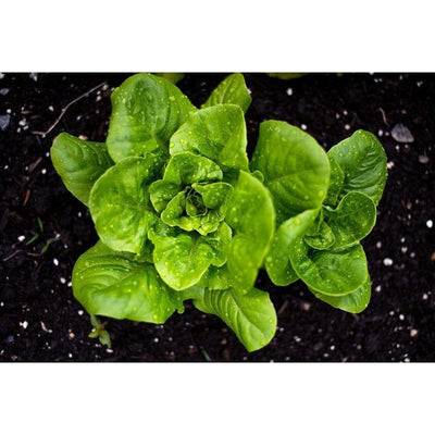 Little Gem Lettuce (50 Days) - Vegetables