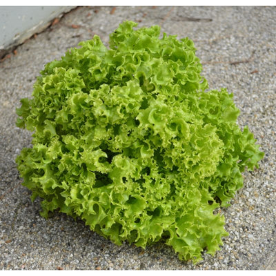Lollo Bionda Lettuce (53 Days) - Vegetables