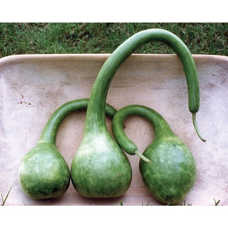 Long Handled Dipper Gourd (110 Days) - Vegetables