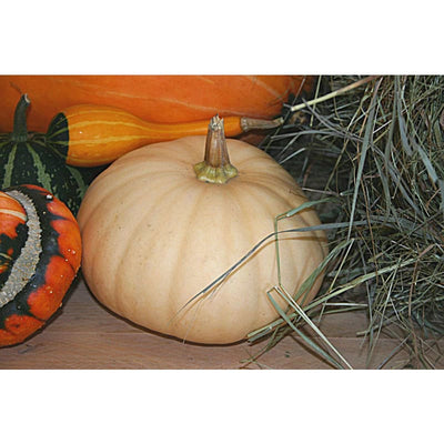 Long Island Cheese Winter Squash (Heirloom 90 Days) - Vegetables