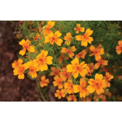 Marigold - Golden Gem **sold out** - Flowers