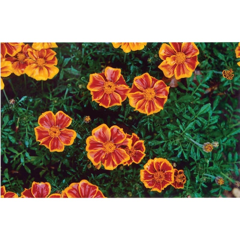 MARIGOLD - HARLEQUIN **** SOLD OUT**** - Flowers