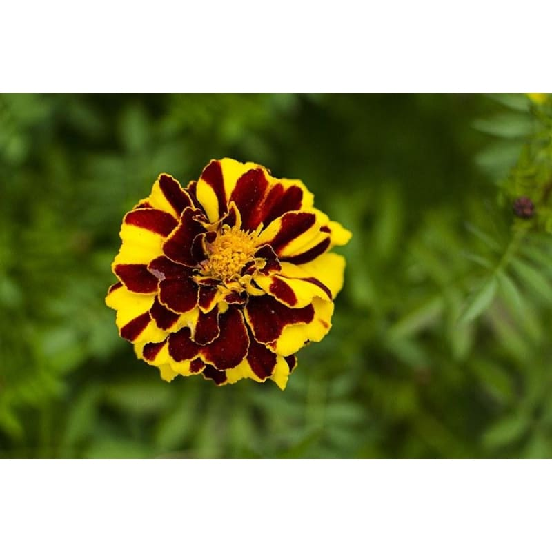 Marigold -Mr Majestic Double-Discontinued - Flowers