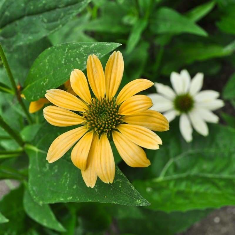 Mellow Yellow Echinacea - Flowers