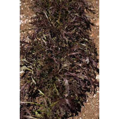Mizuna Red Streaked Mustard (20-45 Days) - Vegetables