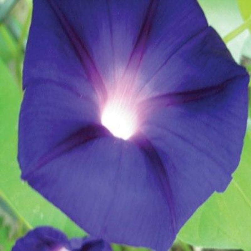 MORNING GLORY - PRESIDENT TYLER *sold out* - Flowers