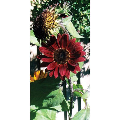 Sunflower - Moulin Rouge - Flowers