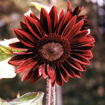 Moulin Rouge Sunflower - Flowers