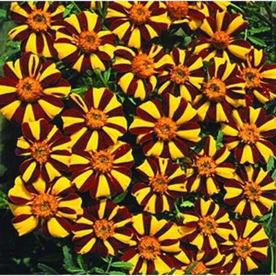 MARIGOLD - MR MAJESTIC - Flowers
