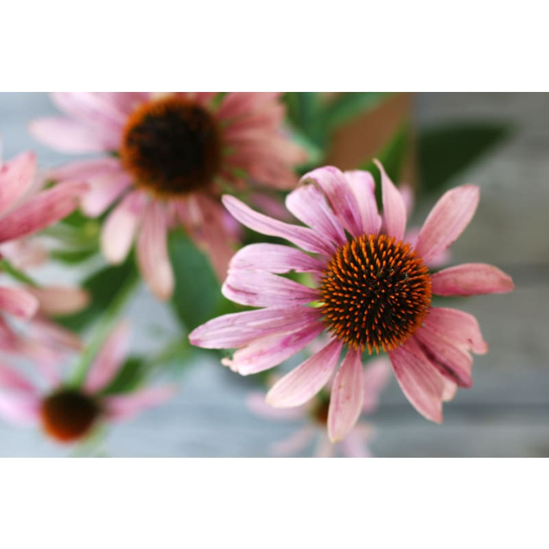 Narrow Leaf Echinacea - Flowers