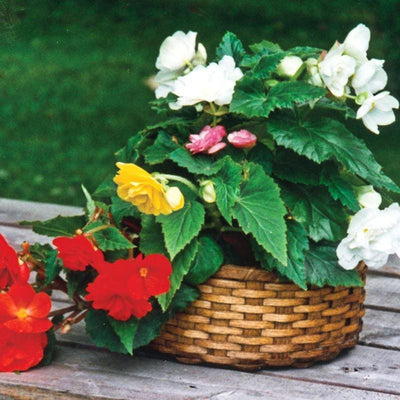 Non Stop Mix Begonia - Flowers