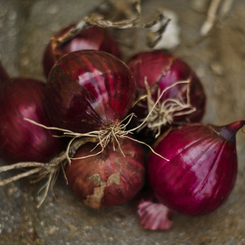 Onion Plants 'Candy Apple Red'
