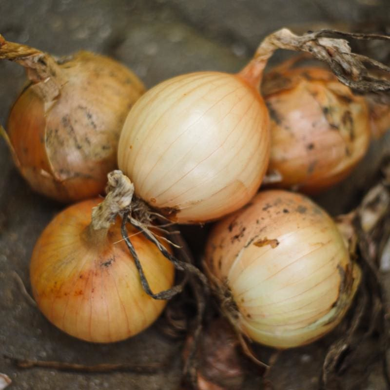 Onion Plants 'Candy'