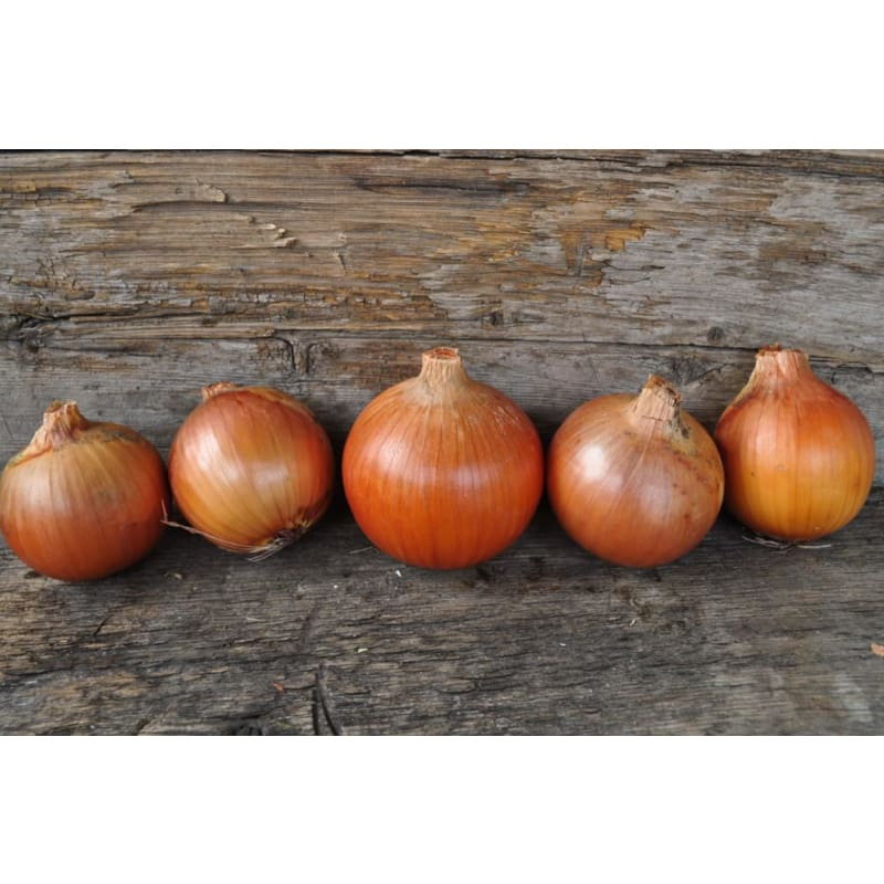 Onion Plants 'Patterson'