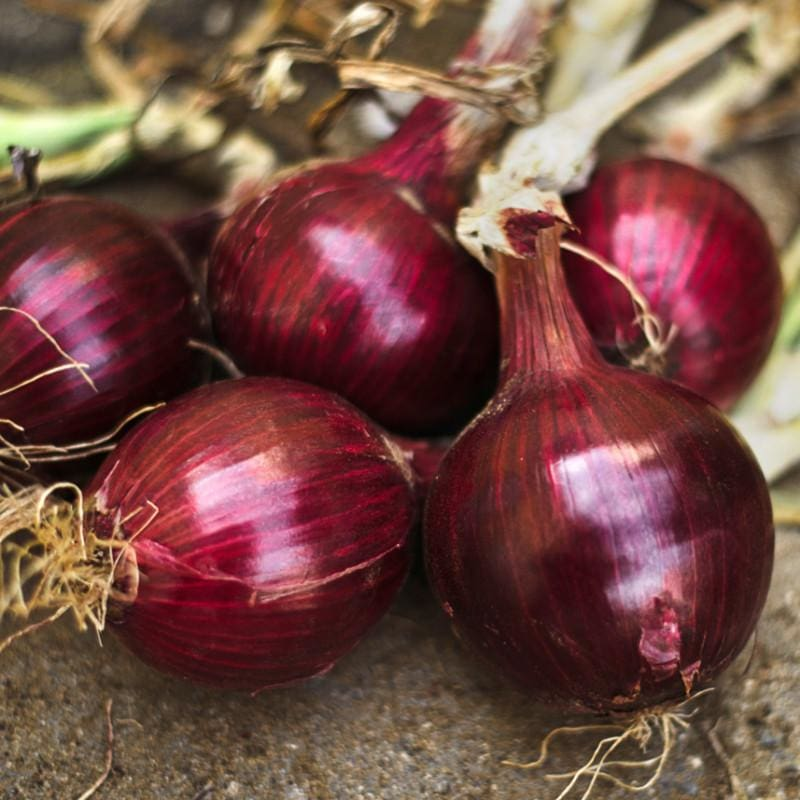Onion Plants 'Redwing'