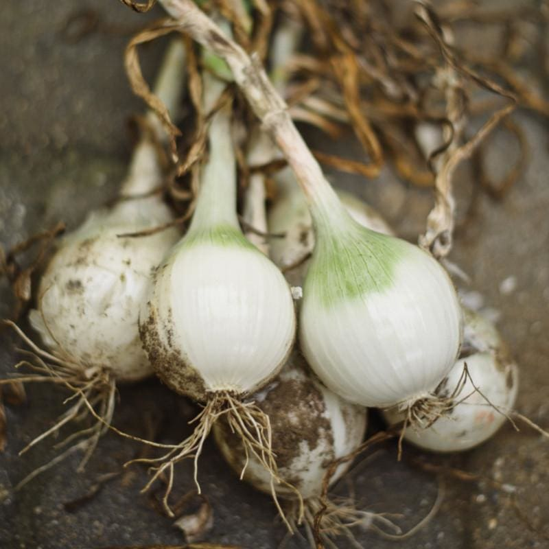 Onion Plants 'White Sweet Spanish' - Spring