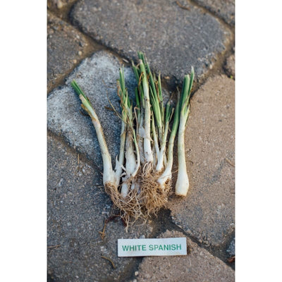 Onion Plants White Sweet Spanish - Spring