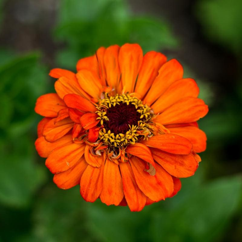 Orange King Zinnia - Flowers