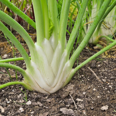 Orazio Fennel (F1 Hybrid 50-80 Days) - Vegetables