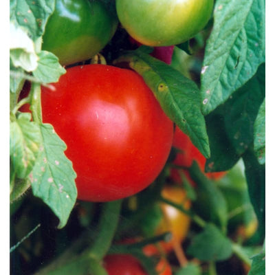 Oregon Spring Tomato (68 Days) - Vegetables