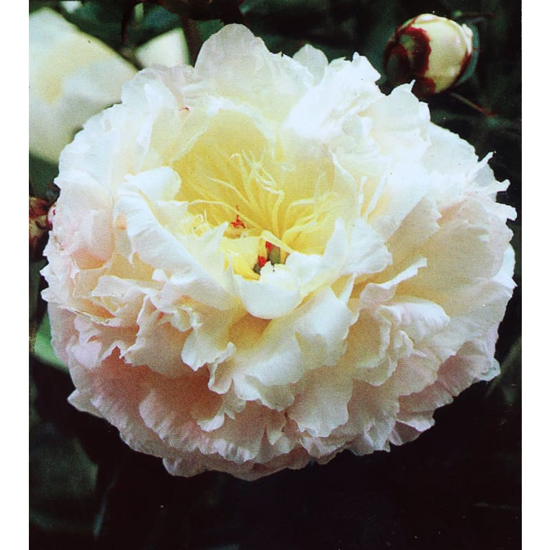 Paeonia Lactiflora Shirley Temple- Discontinued - Spring
