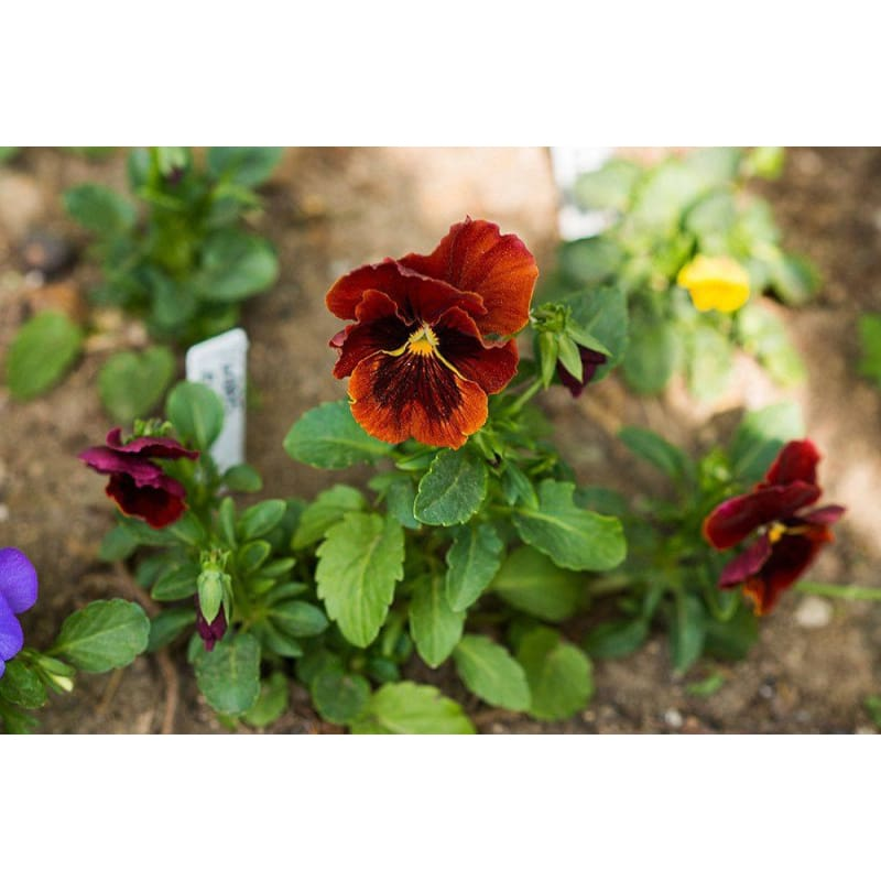 PANSY - FIRE DREAM ***Sold Out*** - Flowers
