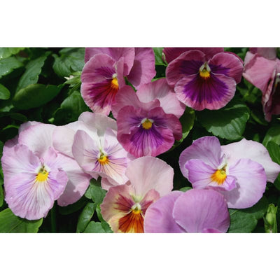 Pansy - Magnum Pink Shades-Discontinued - Flowers