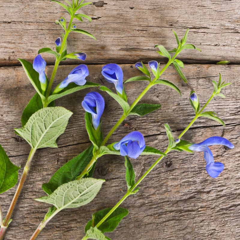 Patio Deep Blue Salvia - Flowers