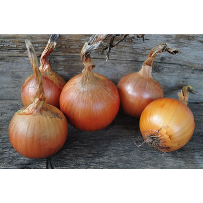 Patterson Onion (F1 Hybrid 104 Days) - Vegetables