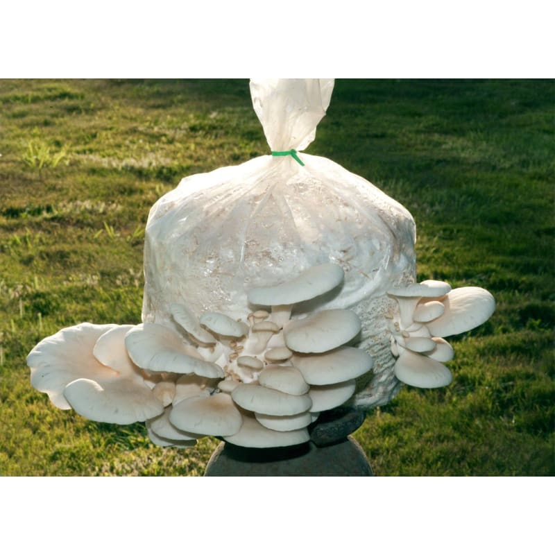 Pearl Oyster Mushroom Patch-Discontinued