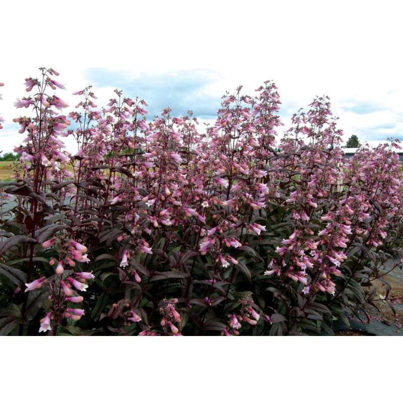 Penstemon 'Dark Towers' (SOLD OUT)