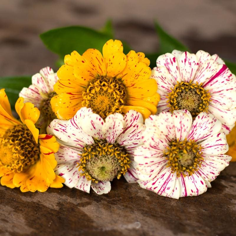 Peppermint Stick Zinnia - Flowers