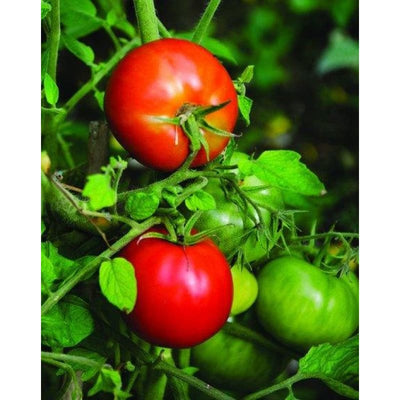 Peron Tomato (68 Days)-Discontinued - Vegetables