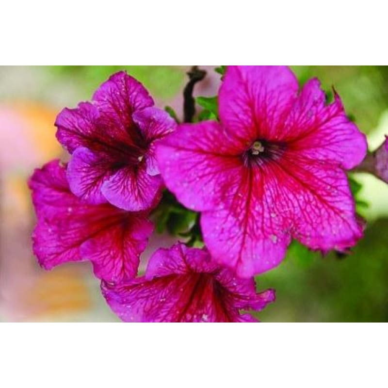 Petunia-Red Veined - Flowers