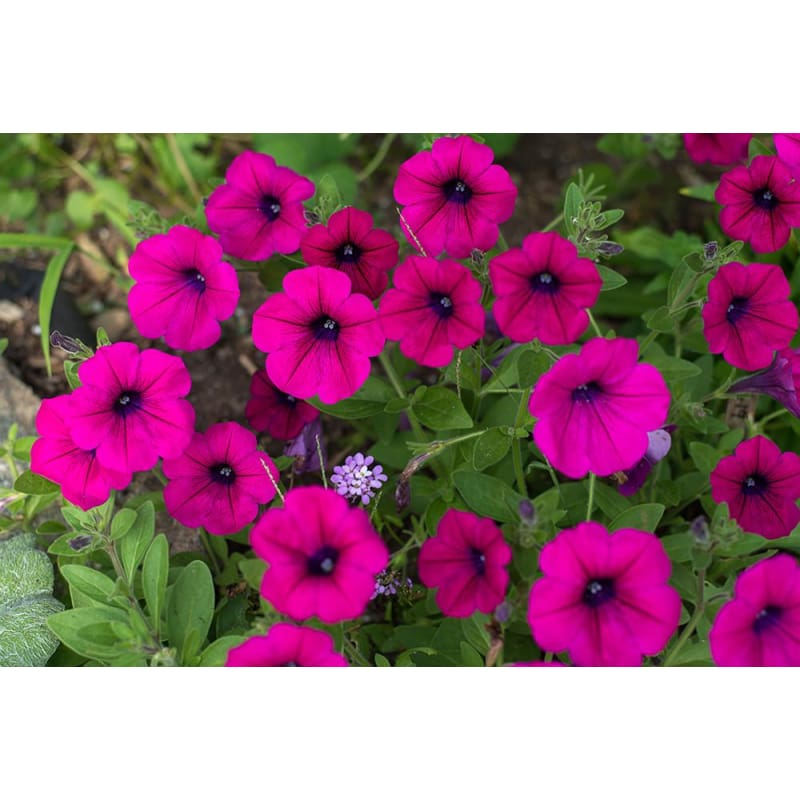 Petunia - Tickled Pink - Flowers