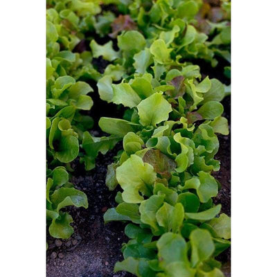Pinetree Lettuce Mix - 1/2 ounce Package - Vegetables