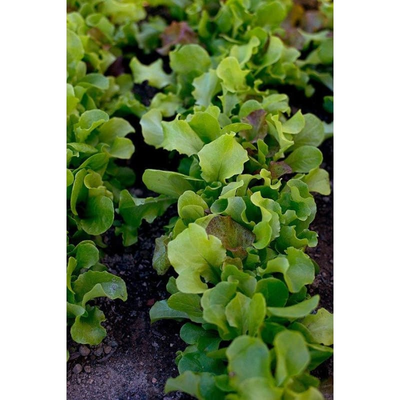 Pinetree Lettuce Mix (Begin harvesting in 40 Days)