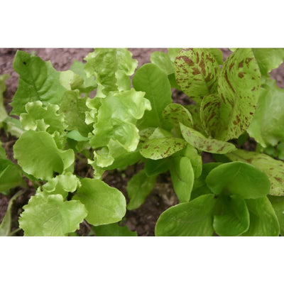 Pinetree Winter Lettuce Mix - Vegetables