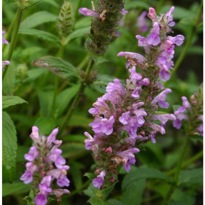Pink Catmint - Flowers