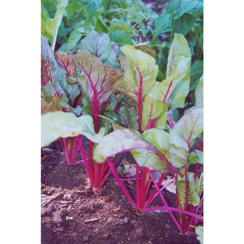 Pink Lipstick Swiss Chard (60 Days) - Vegetables