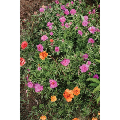 Portulaca - Double Mixed *Unavailable* - Flowers