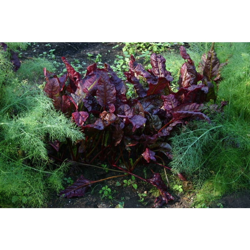 Prima Rosa Swiss Chard (25-50 Days) - Vegetables