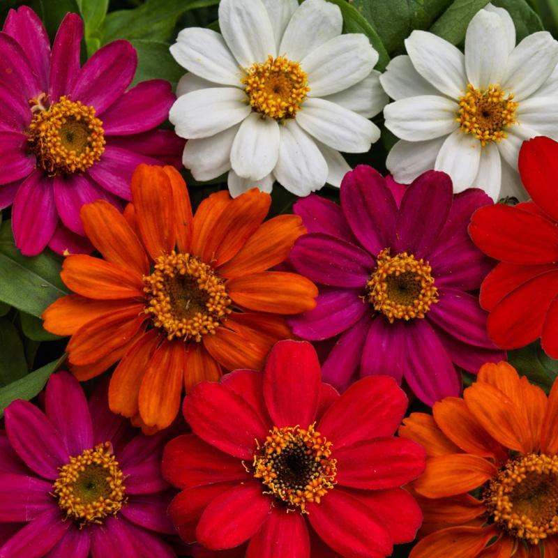 Profusion Mix Zinnia - Flowers