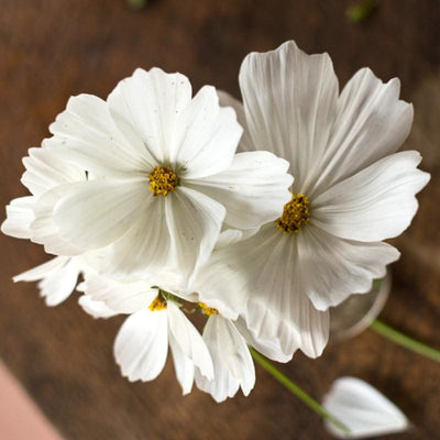 Purity Cosmos - Flowers