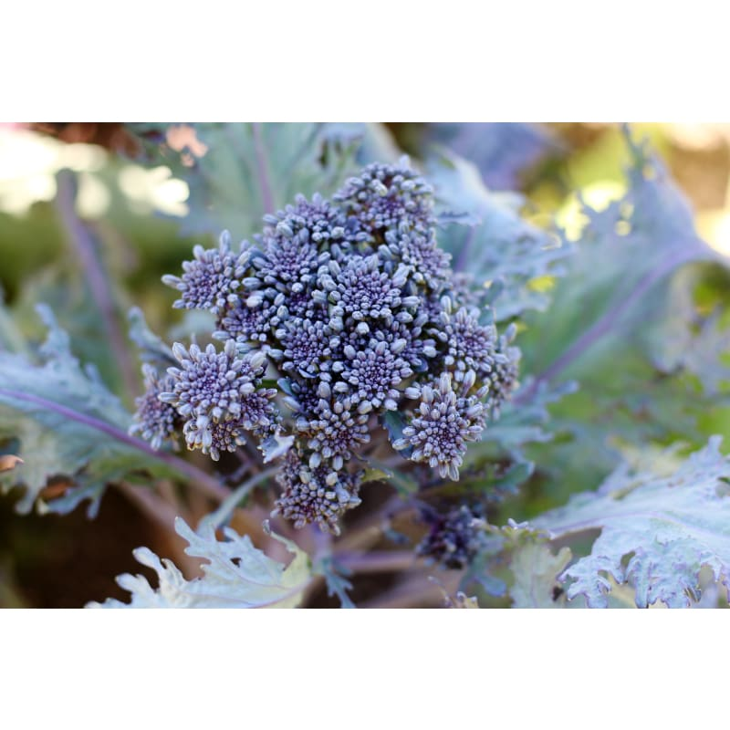 Purple Peacock Broccoli (Organic, 70 Days)