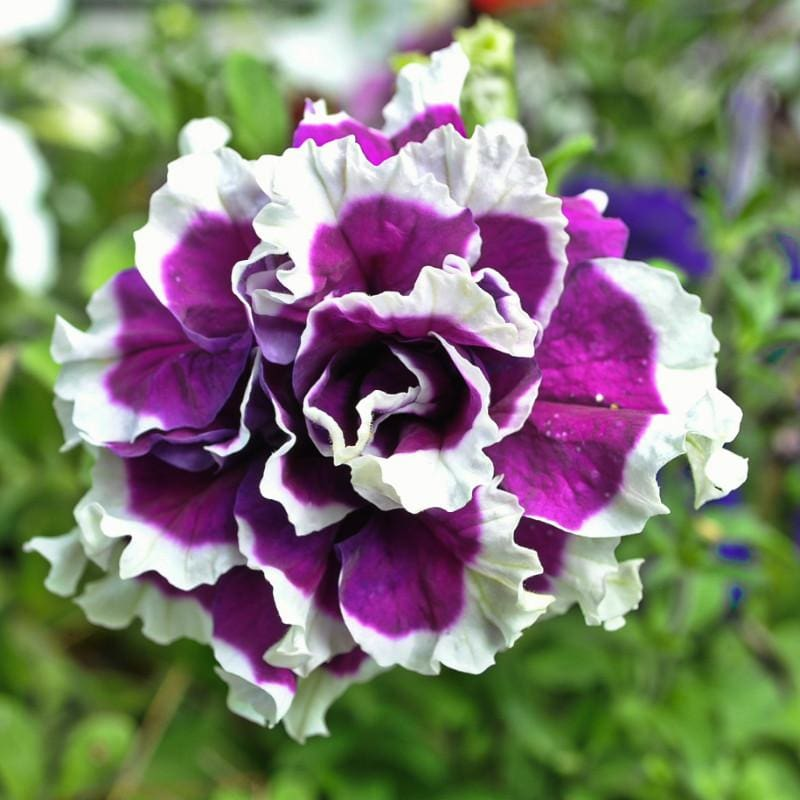 Purple Pirouette Petunia - Flowers